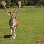 Deer posing — Stock Photo #13314525
