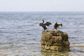 Pair of cormorant — Stock Photo
