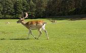 Deer running — Стоковое фото