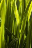 Grass blade — Stock Photo