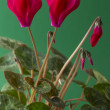 Cyclamen — Stock Photo #36453809