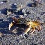 Sea crab — Stock Photo #12530354