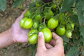 Cultivation of tomatoes — Stock Photo