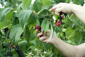Harvesting of red raspberry — Stock Photo
