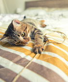 Cat plays on bed — Stok fotoğraf