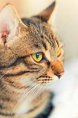 Gato europeo — Foto de Stock