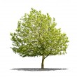 Beautifull green tree on a white background in high definition — Stock Photo #16496603