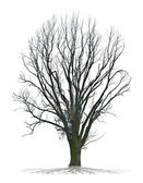Dead tree on white background in high definition — Stock fotografie