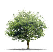 Beautifull green tree on a white background in high definition — Φωτογραφία Αρχείου