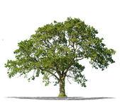 高解像度で白い背景の上の美しいグリーン ツリー — ストック写真