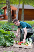 Young attractive farmer harvesting vegetables — Stock Photo
