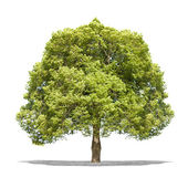Beautifull green tree on a white background in high definition  — 图库照片
