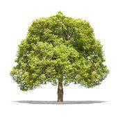在高清晰度的白色背景上连连看绿树 — 图库照片