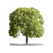 Beautifull green tree on a white background in high definition  — Foto de Stock
