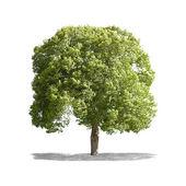 Schöne grüne baum auf einem weißen hintergrund in high-definition — Stockfoto