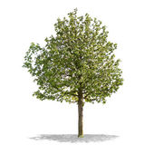 Beautifull green tree on a white background in high definition  — Zdjęcie stockowe