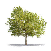 Arbre beau vert sur fond blanc en haute définition — Photo