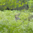 Whitetail Deer Buck — Lizenzfreies Foto