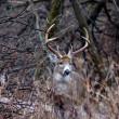Whitetail Deer Buck — Stock Photo #12305325