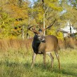 Stock Photo: Whitetail Deer Buck