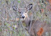 Venado spike buck — Foto de Stock