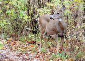 Doe ciervos de whitetail — Foto de Stock