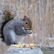 Gray Squirrel — Stock Photo #18344695