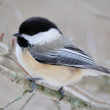 Black-capped Chickadee — Stock Photo #18344709