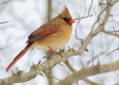 Female Cardinal — Stock Photo