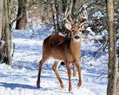 Whitetail 鹿バック — ストック写真