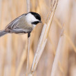 Black-capped Chickadee — Stock Photo #19966147