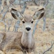 Mule Deer Doe With Yearlings — Stock Photo