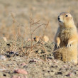 Black-Tailed Prairie Dog — Foto Stock #23377874
