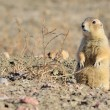 Stock Photo: Black-Tailed Prairie Dog