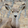 Stock Photo: Mule Deer Yearling