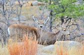 Mule Deer Does — Stockfoto
