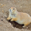 Black-Tailed Prairie Dog - Stock Photo