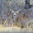 Mule Deer Doe - Stock Photo