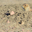 Black-Tailed Prairie Dog — Stockfoto #23512931