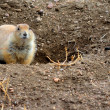 图库照片: Black-Tailed Prairie Dog