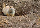 Black-Tailed Prairie Dog — Stock Photo