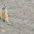 Stockfoto: Black-Tailed Prairie Dog