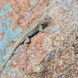 Plateau side-blotched lizard — Stock Photo