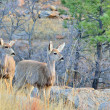 Mule Deer Doe With Yearling - Stock Photo