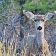 Mule Deer Doe — Stock Photo