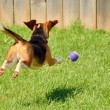 Beagle Chasing A Ball - Stock Photo