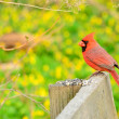 Male Cardinal - Stock Photo