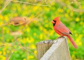 Male Cardinal — Stock Photo