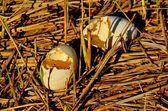 Gebroken canada goose eieren — Stockfoto