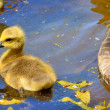 CanadGoose Gosling — Stock Photo #24994809